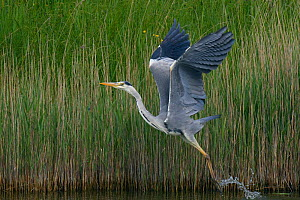 Grey heron (Ardea cinerea) taking off, Texel, Netherlands, May 2009  -  Wild Wonders of Europe / Peltomäki