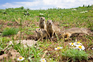 European souslik (Spermophilus citellus) family, Slovakia, June 2008  -  Wild Wonders of Europe / Wothe