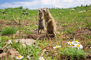 Two European sousliks (Spermophilus citellus) standing alert, Slovakia, June 2008  -  Wild Wonders of Europe / Wothe
