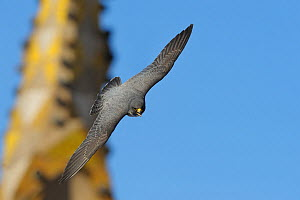 Peregrine falcon (Falco peregrinus) in flight, Barcelona, Spain, April . WWE BOOK & INDOOR EXHIBITION - Wild  Wonders of Europe / Geslin