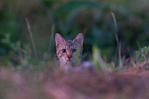 Wild cat (Felis silvestris) portrait, Codrii Forest Reserve, Moldova, June - Wild  Wonders of Europe / Geslin