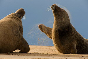 Two Grey seals (Halichoerus grypus) fighting, Donna Nook, Lincolnshire, UK, November 2008  -  Wild Wonders of Europe / Geslin