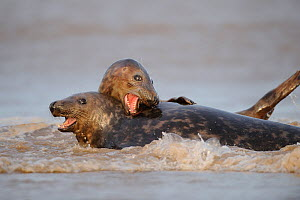 Two Grey seals (Halichoerus grypus) playing in water, Donna Nook, Lincolnshire, UK, November 2008  -  Wild Wonders of Europe / Geslin