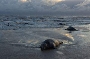 Grey seals (Halichoerus grypus) lying on beach, Donna Nook, Lincolnshire, UK, November 2008  -  Wild Wonders of Europe / Geslin