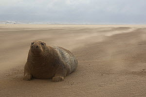 Grey seal (Halichoerus grypus) covered in sand on beach, Donna Nook, Lincolnshire, UK, November 2008  -  Wild Wonders of Europe / Geslin