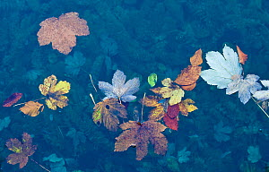 Leaves floating  on water surface, Plitvice National Park, Croatia, October 2008 - Wild Wonders of Europe / Biancarelli