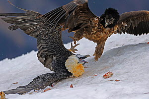 Bearded vulture (Gypaetus barbatos) adult and juvenile squabbling over food in snow, Cebollar, Torla, Aragon, Spain, November 2008. WWE INDOOR EXHIBITION  -  Wild  Wonders of Europe / Elander