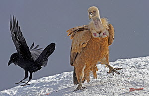 Griffon vulture (Gyps fulvus) and Raven (Corvus corax) in snow, Cebollar, Torla, Aragon, Spain, November 2008  -  Wild Wonders of Europe / Elander