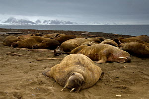 Walruses (Obdobenus rosmarus) lying on beach, Prins Karls Forland, Svalbard, Norway, July 2008 - Wild Wonders of Europe / de la L