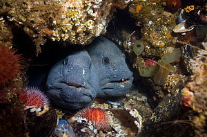Two Atlantic wolffish (Anarhichas lupus) looking out of hole, Saltstraumen, Bod�, Norway, October 2008  -  Wild Wonders of Europe / Lundgren