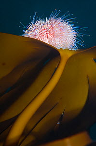 Edible sea urchin (Echinus esculentus) on Kelp, Saltstraumen, Bod�, Norway, October 2008 - Wild Wonders of Europe / Lundgren