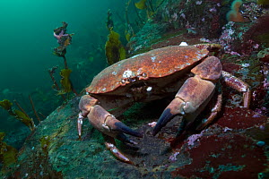 Edible crab (Cancer pagurus) portrait, Saltstraumen, Bod�, Norway, October 2008  -  Wild Wonders of Europe / Lundgren