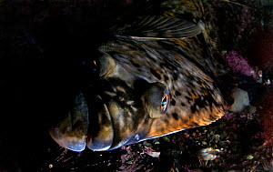 Atlantic halibut (Hippoglossus hippoglossus) Saltstraumen, Bod�, Norway, October 2008  -  Wild Wonders of Europe / Lundgren