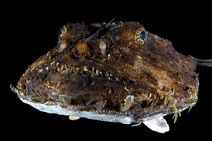 Monkfish / Anglerfish (Lophius piscatorius) portrait, Saltstraumen, Bod�, Norway, October 2008  -  Wild Wonders of Europe / Lundgren