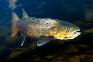 Female Atlantic salmon (Salmo salar) River Orkla, Norway, October 2008  -  Wild Wonders of Europe / Lundgren
