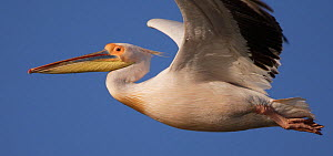 White pelican (Pelecanus onolocratus) in flight, Danube Delta, Romania, May 2009  -  Wild Wonders of Europe / Presti