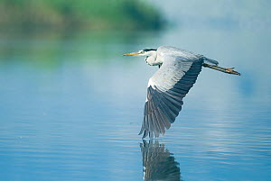Grey heron (Ardea cinerea) in flight over Lake Skadar, Lake Skadar National Park, Montenegro, May 2008  -  Wild Wonders of Europe / Radisics