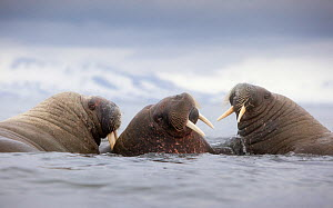 Three Walruses (Odobenus rosmarus) in water, Richardlagunen, Forlandet National Park, Prins Karls Forland, Svalbard, Norway, June 2009 - Wild Wonders of Europe / Liodden