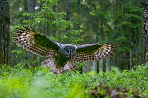 Female Great grey owl (Strix nebulosa) in flight in boreal forest, Finland, June 2008  -  Wild Wonders of Europe / Cairns