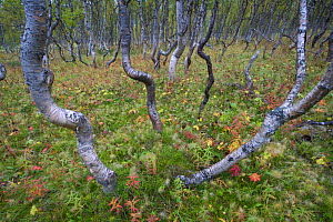 Boreal Silver birch (Betula verrucosa) forest, Sarek National Park, Laponia World Heritage Site, Lapland, Sweden, September 2008 - Wild Wonders of Europe / Cairns
