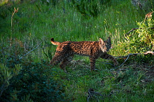 Wild Iberian lynx (Lynx pardinus) female, one year, Sierra de And�jar Natural Park, Mediterranean woodland of Sierra Morena, north east Ja�n Province, Andalusia, Spain, April 2009, Critically endanger...  -  Wild Wonders of Europe / Oxford