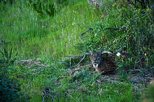 Wild female Iberian lynx (Lynx pardinus) lying down, Sierra de And�jar Natural Park, Mediterranean woodland of Sierra Morena, north east Ja�n Province, Andalusia, Spain, April 2009, Critically endange...  -  Wild Wonders of Europe / Oxford
