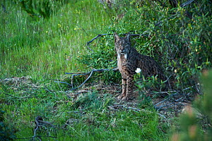 Wild Iberian lynx (Lynx pardinus) female emerging from undergrowth, Sierra de And�jar Natural Park, Mediterranean woodland of Sierra Morena, north east Ja�n Province, Andalusia, Spain, April 2009, Cri...  -  Wild Wonders of Europe / Oxford