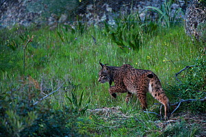 Wild Iberian lynx (Lynx pardinus) female, Sierra de And�jar Natural Park, Mediterranean woodland of Sierra Morena, north east Ja�n Province, Andalusia, Spain, April 2009, Critically endangered  -  Wild Wonders of Europe / Oxford