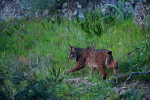 Wild Iberian lynx (Lynx pardinus) female walking, Sierra de And�jar Natural Park, Mediterranean woodland of Sierra Morena, north east Ja�n Province, Andalusia, Spain, April 2009, Critically endangered  -  Wild Wonders of Europe / Oxford