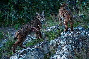 Wild Iberian lynx (Lynx pardinus) female with juvenile female (one year) Sierra de And�jar Natural Park, Mediterranean woodland of Sierra Morena, north east Ja�n Province, Andalusia, Spain, April 2009...  -  Wild Wonders of Europe / Oxford