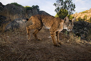 Wild Iberian lynx (Lynx pardinus) male, Sierra de And�jar Natural Park, Mediterranean woodland of Sierra Morena, north east Ja�n Province, Andalusia, Spain, April 2009, Critically endangered  -  Wild Wonders of Europe / Oxford