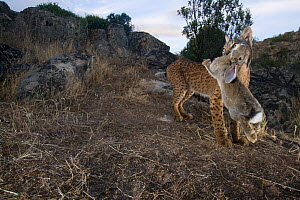 Wild Iberian lynx (Lynx pardinus) male carrying rabbit prey, Sierra de And�jar Natural Park, Mediterranean woodland of Sierra Morena, north east Ja�n Province, Andalusia, Spain, May 2009, Critically e...  -  Wild Wonders of Europe / Oxford