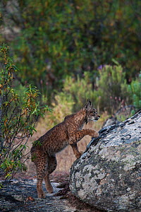 Wild Iberian lynx (Lynx pardinus) male, one year, climbing onto rock, Sierra de And�jar Natural Park, Mediterranean woodland of Sierra Morena, north east Ja�n Province, Andalusia, Spain, April 2009, C...  -  Wild Wonders of Europe / Oxford