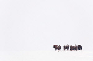 Rear view of European bison (Bison bonasus) in agricultural field, Bialowieza NP, Poland, February 2009  -  Wild Wonders of Europe / Unterthiner