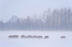 European bison (Bison bonasus) in agricultural field, Bialowieza NP, Poland, February 2009  -  Wild Wonders of Europe / Unterthiner