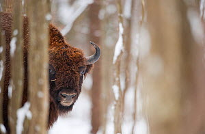 European bison (Bison bonasus) in forest, Bialowieza NP, Poland, February 2009  -  Wild Wonders of Europe / Unterthiner