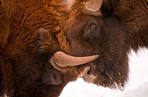 Two European bison (Bison bonasus) fighting, Bialowieza NP, Poland, February 2009. WWE INDOOR EXHIBITION.  -  Wild Wonders of Europe / Unterthiner