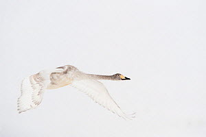 Whooper swan (Cygnus cygnus) immature adult in flight, Lake Tysslingen, Sweden, March 2009 - Wild Wonders of Europe / Unterthiner