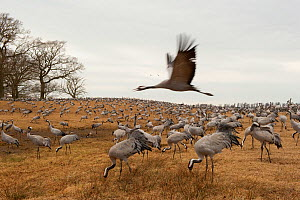 Common / Eurasian cranes (Grus grus) Lake Hornborga, Sweden, April 2009  -  Wild Wonders of Europe / Unterthiner