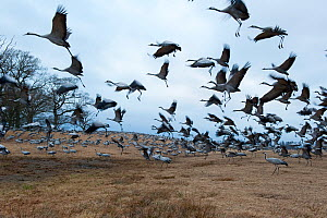 Common / Eurasian cranes (Grus grus) landing, Lake Hornborga, Sweden, April 2009 - Wild Wonders of Europe / Unterthiner