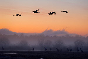 Eurasian / Common cranes (Grus grus) silhouetted at dawn, Lake Hornborga, Sweden, April 2009  -  Wild Wonders of Europe / Unterthiner