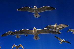Herring gulls (Larus argentatus) in flight, Flatanger, Norway, June 2008  -  Wild Wonders of Europe / Widstra