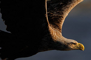 RF- White tailed sea eagle (Haliaeetus albicilla) in flight, Flatanger, Norway, June. (This image may be licensed either as rights managed or royalty free.)  -  Wild  Wonders of Europe / Widstrand
