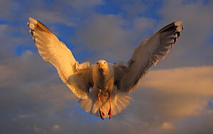 Herring gull (Larus argentatus) in flight, Flatanger, Norway, June 2008  -  Wild Wonders of Europe / Widstrand