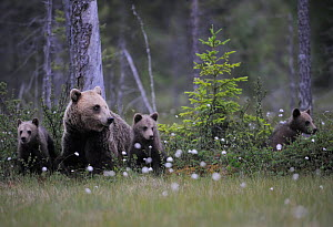 Eurasian brown bear (Ursus arctos) with three cubs, Suomussalmi, Finland, July 2008  -  Wild Wonders of Europe / Widstrand