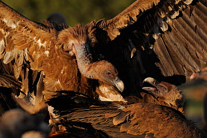 Two Griffon vultures (Gyps fulvus) fighting, Montejo de la Vega, Segovia, Castilla y Leon, Spain, March 2009  -  Wild Wonders of Europe / Widstra