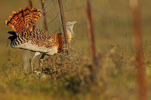 Male Great bustard (Otis tarda) caught in fence whilst displaying at a lek, La Serena, Extremadura, Spain, April 2009. Commended in THE WORLD IN OUR HANDS category, 2012 WILDLIFE PHOTOGRAPHER OF THE Y...  -  Wild Wonders of Europe / Widstra