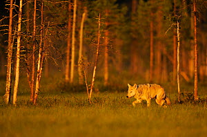European / Grey wolf (Canis lupus) at sunset, Kuhmo, Finland, July 2009. WWE INDOOR EXHIBITION  -  Wild Wonders of Europe / Widstra
