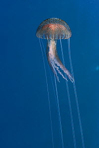 Purple stinger / Common jellyfish (Pelagia noctiluca) Malta, Mediteranean, May 2009  -  Wild Wonders of Europe / Zankl