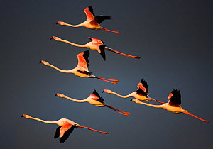 Greater flamingos (Phoenicopterus roseus) in flight, Camargue, France, April 2009. WWE INDOOR EXHIBITION - Wild Wonders of Europe / Allofs